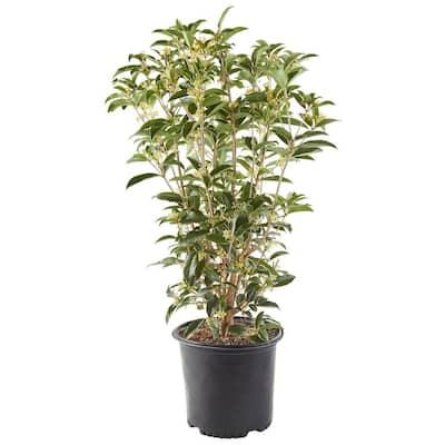7 Gal. Osmanthus Tea Olive Shrub with White Fragrant Flowers