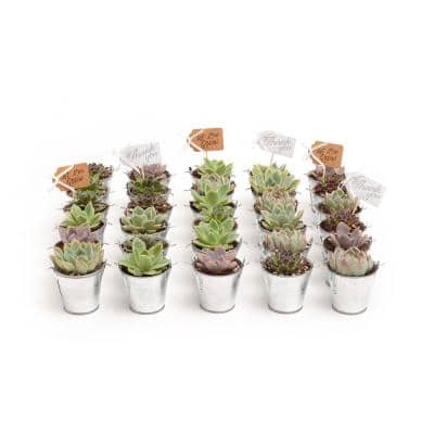 2 in. Wedding Event Rosette Succulents Plant with Tin Metal Pails and Thank You Tags (60-Pack)