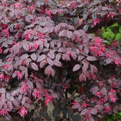 2.5 Gal. Loropetalum Carolina Midnight Flowering Shrub with Fuchsia Pink Flowers