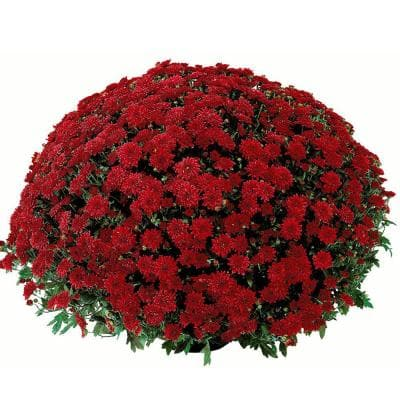 2.5 Qt. Mum Chrysanthemum Plant Red Flowers in 6.33 In. Grower's Pot (2-Plants)