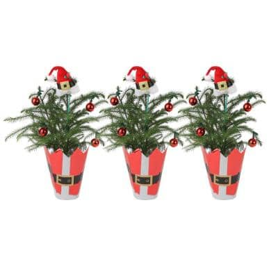 Fresh Norfolk Island Pine in 4 in. Grower Pot, 10 in. to 12 in. Tall with Christmas Wrap and Topper (3-Pack)