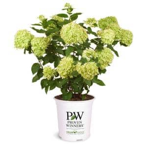Proven Winner 2 Gal. Hydrangea Little Lime Plant with Green to Pink Flowers