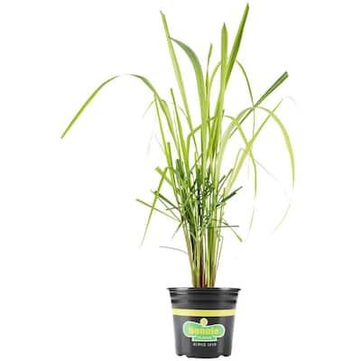 2.32 Qt. Lemon Grass Premium