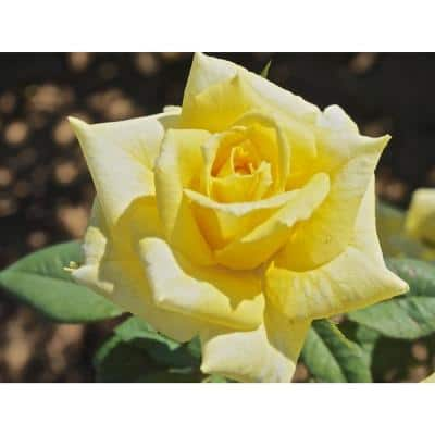 """Package Rose New Day Yellow Flower In 3.5"""" by 12"""" Plastic Package"""
