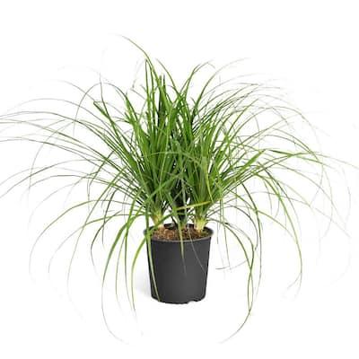 3 Gal. Ponytail Palm in Pot