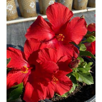 2 Gal. Hollywood First To Arrive Red Flower Annual Hibiscus Plant