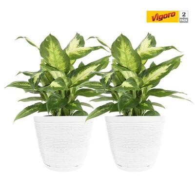 6 in. Dieffenbachia Plant in White Decor Pot (2-Pack)