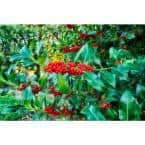 1 Gal. Castle Spire Blue Holly Shrub Vigorous Grower with Bright Red Berries and Tough, Shiny Foliage