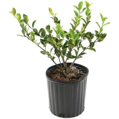 2.5 Qt. Mine No Yuki Camellia Sasanqua Plant with White Blooms