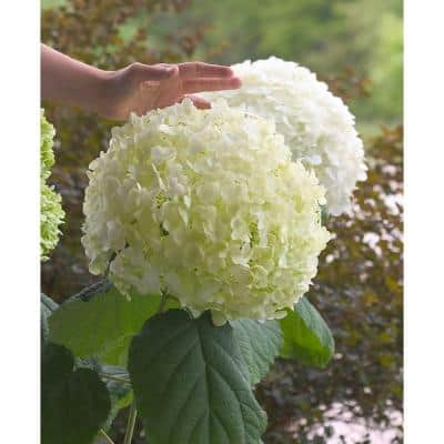4.5 in. Qt. Incrediball Smooth Hydrangea, Live Shrub, Green to White Flowers