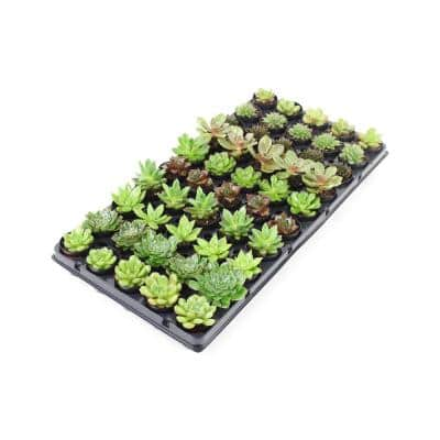 1.66 Oz. Succulent Plant Mix in 1.75 In. Cell Grower's Tray (50-Plants)