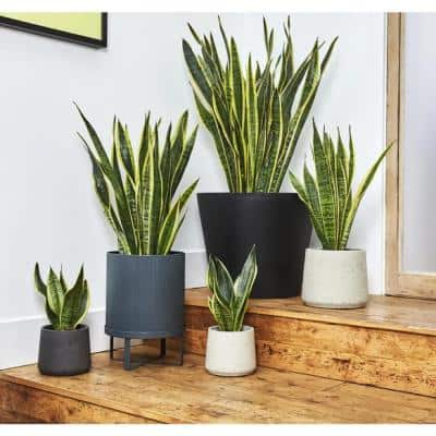 1.5 Qt. Sansevieria Superba Snake Plant in 6 In. Designer Pot (2-Plants)