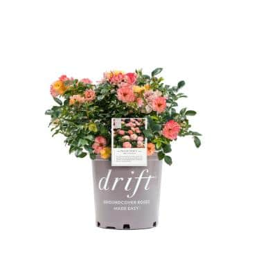 3 Gal. The Peach Drift Rose Bush with Pink Orange Flowers (2-Plants)
