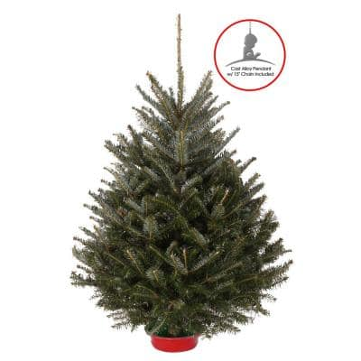 36-42 in. Fresh Fraser Fir Table Top Christmas tree with pre-attached stand and St. Jude Hospital ornament/ pendant