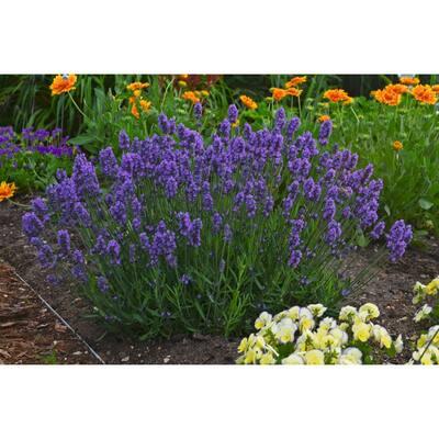 1 Gal. Sweet Romance Lavender (Lavandula) Live Plant, Blue-Purple Flowers