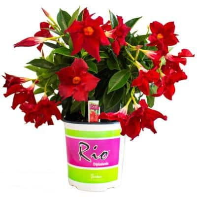1G Dipladenia Flowering Annual Shrub with Red Blooms