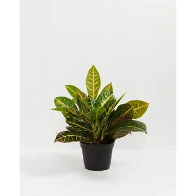 6 in. Croton Petra (Codiaeum variegatum Petra) Plant in Grower Pot