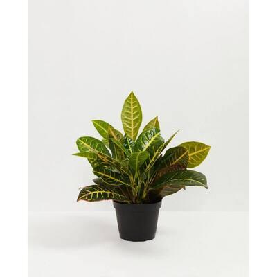10 in. Croton Petra (Codiaeum variegatum Petra) Plant in Grower Pot