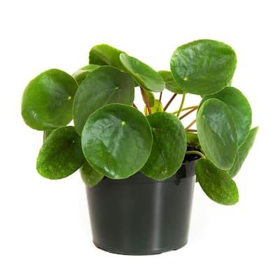 Pilea Peperomioides in 6 in. Grower Pot