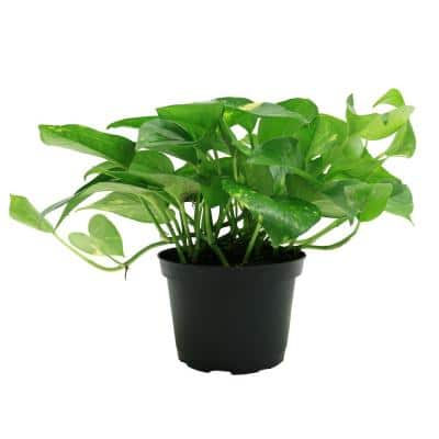 Golden Pothos 6 in. Grower Pot