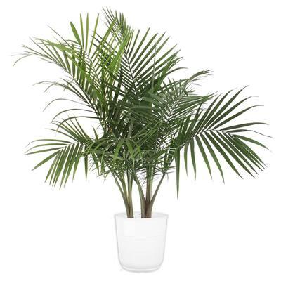 10 in. Majesty Palm Paradise Pot