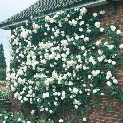 Iceberg Floribunda Rose, Live Bareroot Plant, White Color Flowers (1-Pack)