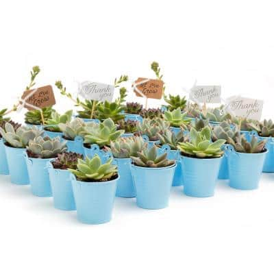 2 in. Wedding Event Rosette Succulents Plant with Blue Metal Pails and Let Love Grow Tags (140-Pack)