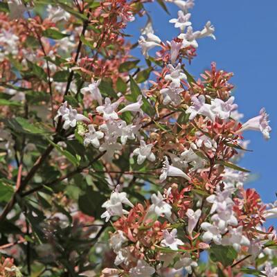2.5 qt. Abelia Rose Creek Flowering Shrub with White Blooms