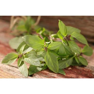 4.25 in. Grande Proven Selections Siam Queen Thai Basil, Live Plant, Herb (Pack of 4)