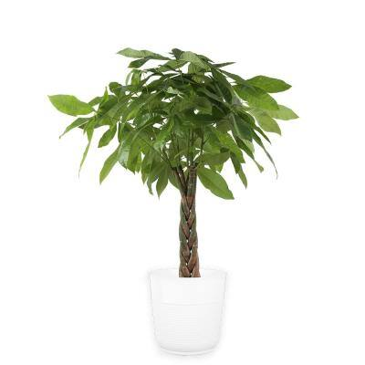 10 in. Pachira Braid Plant in Paradise Planter