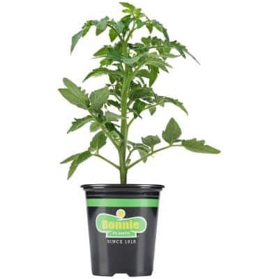 19.3 oz. Cherokee Purple Heirloom Tomato Plant