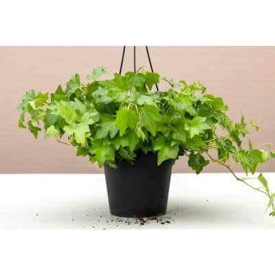 6 in. Green English Ivy (Hedera helix) Plant in Grower Pot