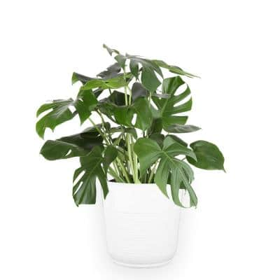 10 in. Philodendron Monstera Swiss Cheese Plant in White Plastic Deco Pot