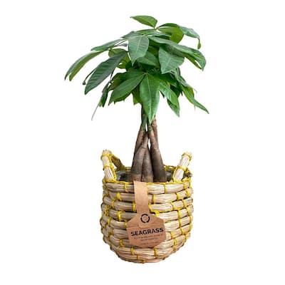 5 in. Money Tree Pachira (Pachira Aquatica) Plant Natural Seagrass Basket