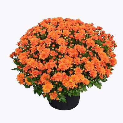3 Qt. Chrysanthemum (Mum) Plant with Orange Flowers