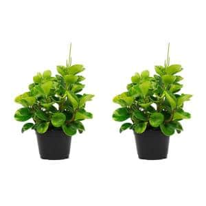 1.5 Qt. Peperomia Obtusifolia Marble Plant in 6 in. Grower Pot (2-Pack)