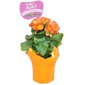 4.5 in. Begonia Plant in Pot Cover