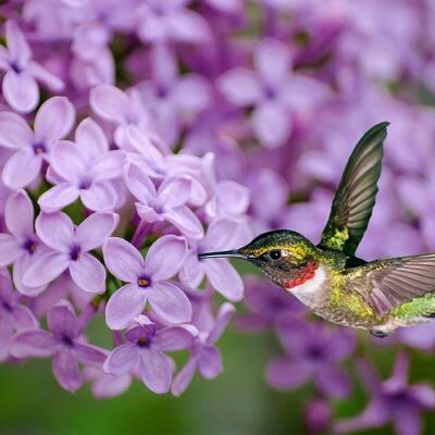 Sunday Purple Flowering Lilac, Live Bareroot Deciduous Shrub (1-Pack)