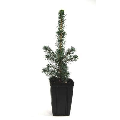 Black Hills Spruce Potted Evergreen Tree