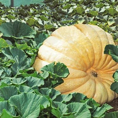 Pumpkin Dill's Atlantic Giant Pumpkin Seeds (10 Seed Packet)