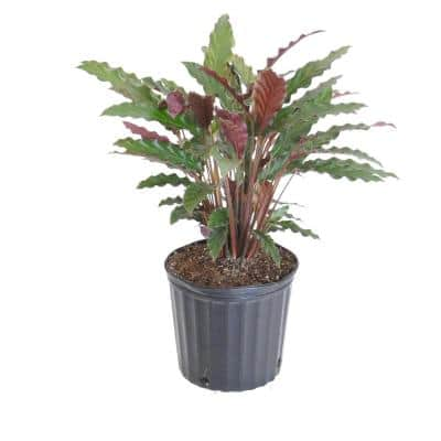 9.25 in. Calathea Rufibarba Live Indoor Fuzzy Feathers Houseplant Shipped in Grower Pot