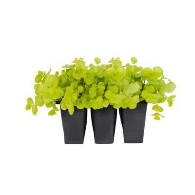 6 In. Vigoro Creeping Jenny Lysimachia Ground Cover Plant (6-Pack)