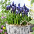 Grape Hyacinths Bulbs Multi Colored Latifolum (Set of 25)