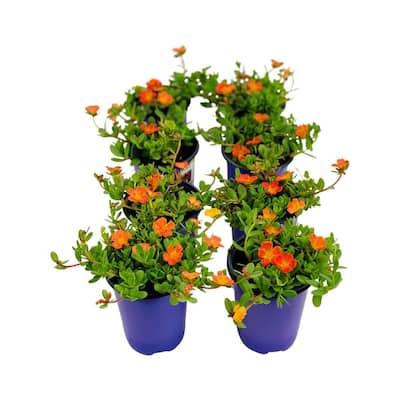 1.38 Pt. Purslane Plant Orange Flower in 4.5 In. Grower's Pot (8-Plants)