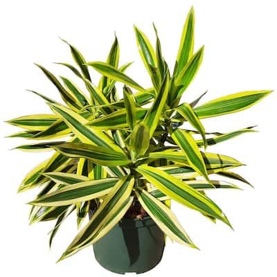 Dracaena Reflexa - Song of India Plant in 6 in. Grower Pot