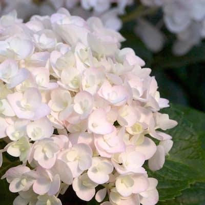1 Gal. Blushing Bride Hydrangea(Macrophylla) Live Deciduous Shrub, White Blooms Blush to Blue or Pink