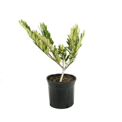 2.5 Qt. Distylium Plant with White Blooms