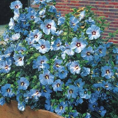 4 in. Pot Bluebird Rose of Sharon (Althea), Live Deciduous Plant, Blue Flowers on Green Foliage (1-Pack)