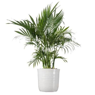 Cat Palm Plant 24. in to 34 in. Tall in 10 in. White Decor Pot