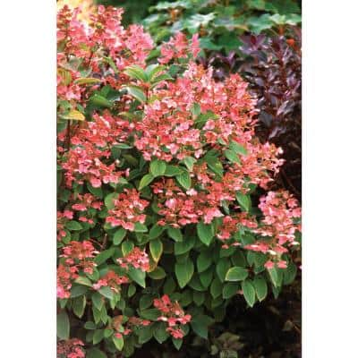 4.5 in. qt. Quick Fire Hardy Hydrangea (Paniculata) Live Shrub, White to Pink Flowers